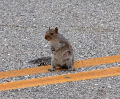 Image result for squirrel crossing road