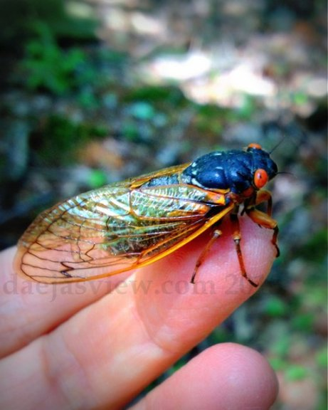 cicada love