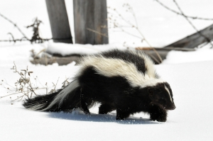 skunk winter