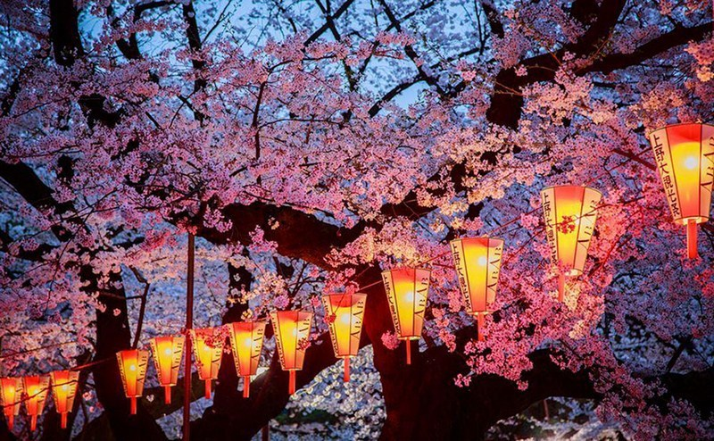 cherry blossoms- national geographic