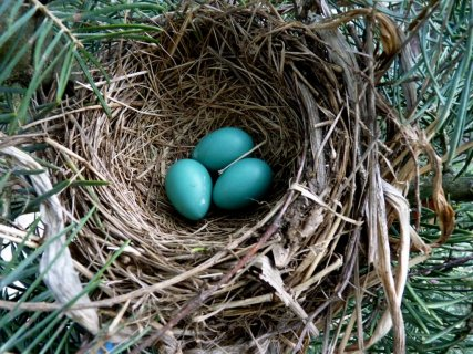 robins eggs @ steves digicams